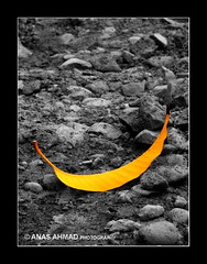 Selective (Anas Ahmad) Tags: pakistan bw color cute yellow leaf selected pakistani karachi anas selectedcolor mywinners anasahmad anasahmadphotography