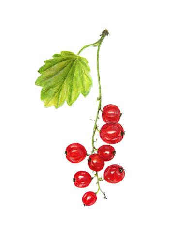 Redcurrant ~ Ribes rubrum ~ Aalbes