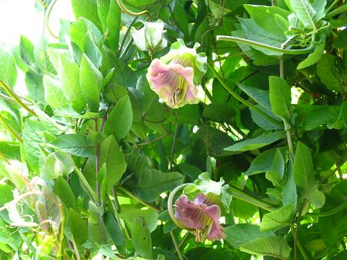 2009-08-01 garden; Cobaea scandens