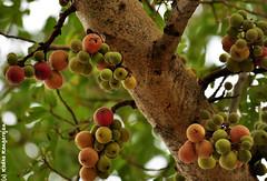 Fig - Ficus Glomerata (Radha Rangarajan) Tags: fig bangalore ficus lalbagh nikond90 ficusglomerata radharangarajan