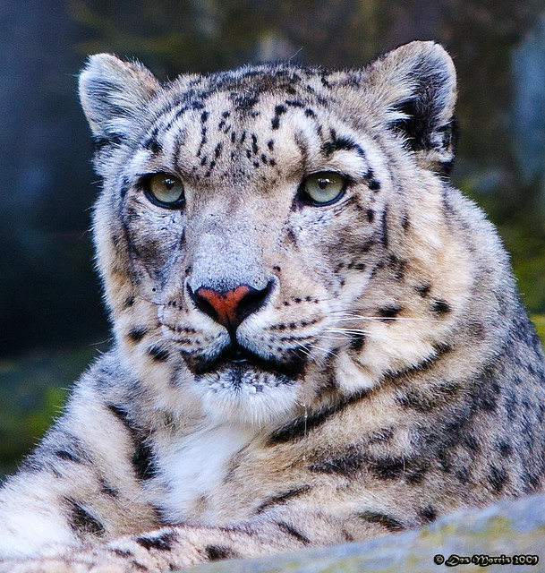 Snow leopard face side - photo#5