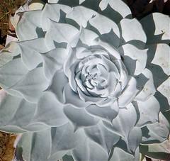 Dudleya pulverulenta (Joyce-Tex-Buckner) Tags: plants nature garden landscape chalk succulent rosette dudleya theplantman