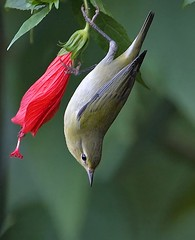 Tennesee-Warbler-2_RS by Robert Strickland, on Flickr