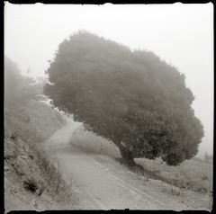 Untitled Tree (efo) Tags: bw tree fog path elcerrito testroll2 hillsidenaturalarea baldaxetteii