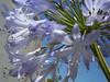 Quinta Flower - agapanto lilás (Carla Cordeiro) Tags: flores quintaflower lilás agapanto flordequinta pelasruasdeterê