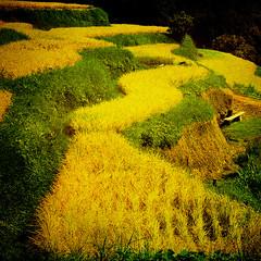 *season of the crop* (nene-ane(ON - OFF)) Tags: nature landscape textures tistheseason gpc fpg imagepoetry realmagic bej infinestyle worldsartgallery redmatrix oracope