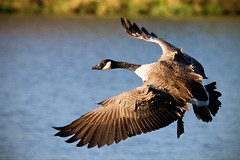 Canadian Goose (•tlc•photography•) Tags: goose canadagoose heritagepark
