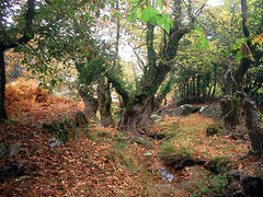 about an autumn (egotoagrimi) Tags: autumn wallpaper fall ikaria aegean greece after metabolism platanusorientalis   langada diuretic agrimi