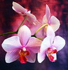 One of my Orchids !! (Tante Bluhme's) Tags: orchid flower colors perception blueribbonwinner phalaenopsisorchids mywinners platinumphoto colorphotoaward infinestyle flowerorfoliagedetail natureislovely extendelement colourpriority imagesforthelittleprince firstofall orchidsoftheworld updatecollection updatecollection~uptodate flowersonflickr bestofmywinners richardsfloraandfauna naturescarousel