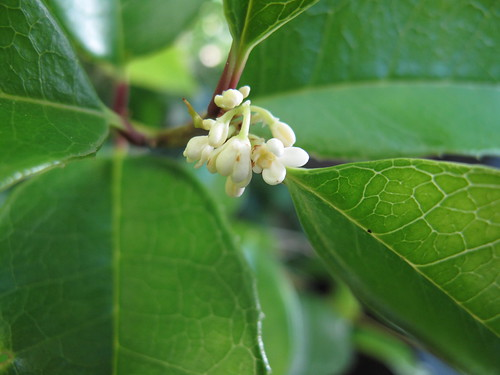 Osmanthus fragrans (sweet olive)