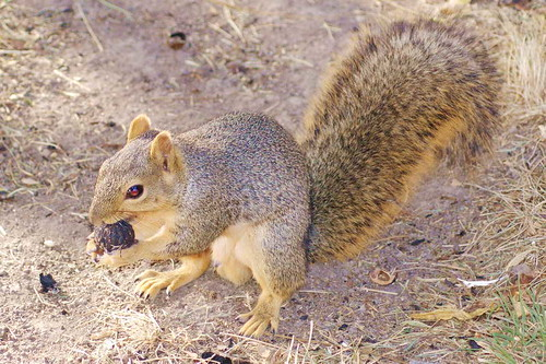 squirrel campolo