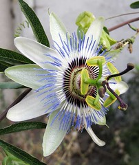passion-flower-01 (vokoban) Tags: passiflora passionflower