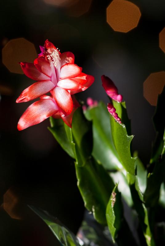 Day 67: Christmas Cactus