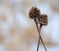 together against (christiaan_25) Tags: winter two brown white cold flower love comfortable symbol pair hard tan together secure easy prairie tandem better answer partners entwined seedheads snuggled nuzzled facingtheworld