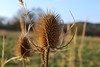 Prickly (SpitMcGee) Tags: winter forest thistle wald prickly distel spaziergang stachlig
