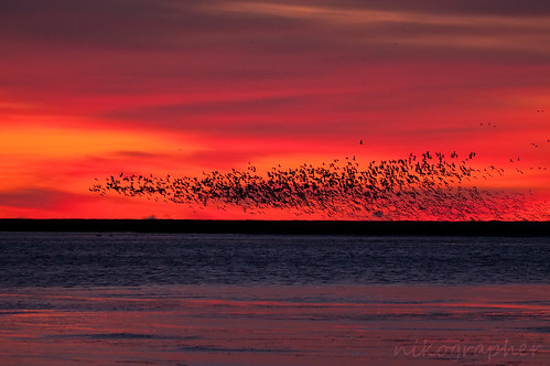 Snow Geese Wedge @ BBH (Pre-Sunrise)