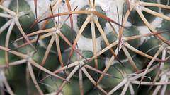 cactaceae (ddsnet) Tags: cactus plant succulent sony hsinchu taiwan  cactaceae     new nex   sinpu hsinpu new  mirrorless      emount nex5 newemountexperience  experience