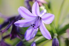 Merveilleuse agapanthe. / Wonderful agapanthus. (alainragache) Tags: agapanthe canon600d fleur flower violet purple sigma closup