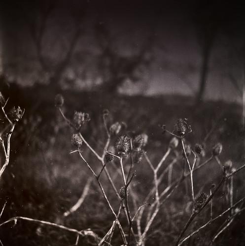 cardus in winter