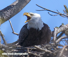 Screaming Eagle Canon 5DSR see full size (Mike Black photography) Tags: bald eagle bird nature canon 5dsr 600mm 800mm is usm l lens nj new jersey photo photography trees belmar wall black white sky blue raptor feather