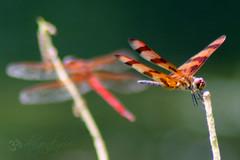 If you want to be happy, be. ( dragonflyriri  (Limited Flickr Time)) Tags: red orange hospital dragonfly bokeh hiltonhead halloweenpennant celithemiseponina sympetrumfonscolombii hbw img1363 maleredveineddarter needhamsskimmerlibellulaneedhami