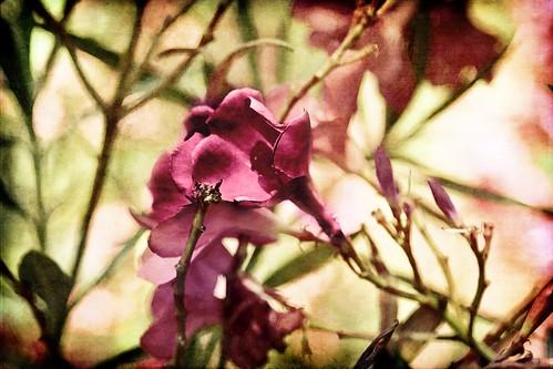 Dappled Morning Light on the Oleander