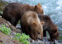 Three Little Bears (Scott Michaels) Tags: bear alaska nikon bears ursus brownbear brooksfalls d40 katmainationalpark nikon70300mmvr