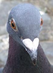 Up close and personal (lisaluvz) Tags: bird closeup wales garden eyes heart head pigeon wildlife beak feathers racing bej lisaluvz