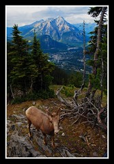 Mountain Sheep and Banff (William Roe) Tags: travel mountain canada mountains nature animal animals landscape sheep wildlife goat banff d60 74points