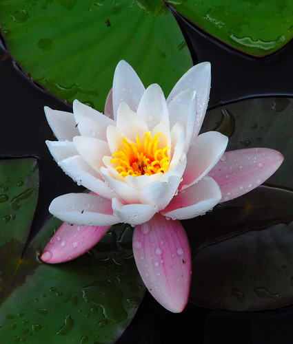 Another Lily to Ponder Upon!