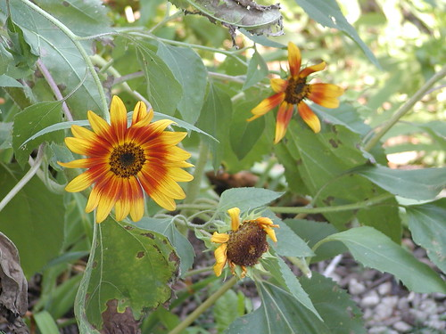 sunflowers08-24-09