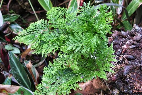 Davalia canariensis (rq) - 02