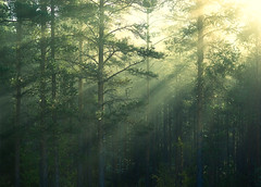 Rays (Joni N) Tags: morning blue mist green fog forest bright pentax pines rays sunrays aficionados sigma105 k10d pentaxk10d