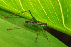 Speckled bush cricket - Leptophyes punctatissima.