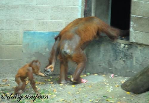 orangutan hand in hand