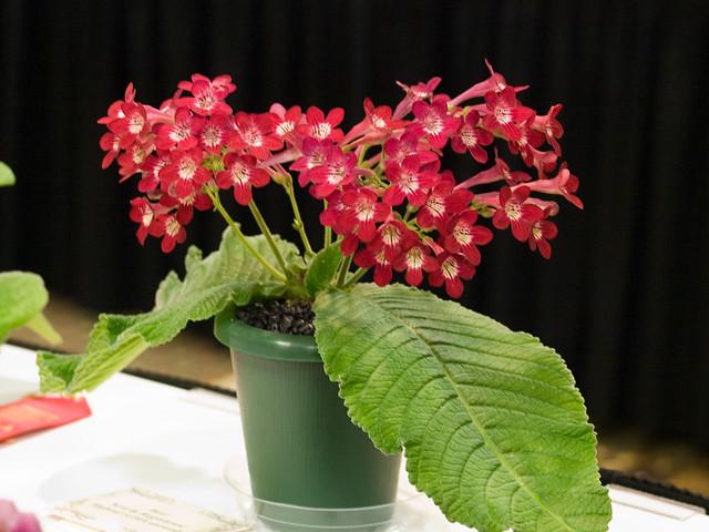 Streptocarpus 'Dale's Scarlet Maccaw'