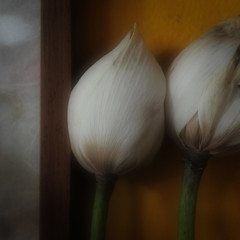 Soft Floral / 18 (Yorick...) Tags: 18flowers sdcandidate