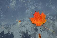 Leaf on a Rusty Hood (ICT_photo) Tags: ontario car leaf maple rust hood junkyard rockwood mcleans