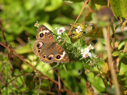 DSCN9141buckeye butterfly