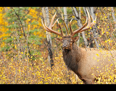 Bugling Elk (these are only words) Tags: autumn canada male fall animal mammal antlers yukon rack elk aspen favourite wapiti bugle rut bugling cervuscanadensis theseareonlywords memberofthedeerfamily theirwintercoatisfivetimeswarmerthantheirsummercoat hairscontainahoneycombpatternofairpocketswhichhelpkeepthemwaterproofandwarmsothickthatitcankeepsnowfrommeltingontheirback primephysicalcondition ganguponcoyotes fasterandhavemoreendurancethanmostoftheirpredators humansandwolvesaretheprimarypredators mayalsobeattackedbyagangofcoyotes blackbearsandgrizzlybearsmayeatcalves twiceayeartheyshedeveryhairontheirbody theincreasingordecreasinglightavailableeachdaytriggerstheirbodytochangecoats