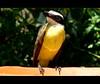 Eu, Bem-te-vi (W Mello) Tags: macro pássaro amarelo pará belém bentivi