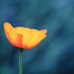 ...know that I have found you... (jewelflyt) Tags: blue orange flower square lyrics bokeh poppy cropped processed grue secretgarden dreamcatcher hmb bleen mondayblues