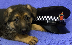 New Recruit (Greater Manchester Police) Tags: cute puppy manchester police gmp policedog cutepuppy britishpolice ukpolice greatermanchesterpolice unitedkingdompolice policepuppy