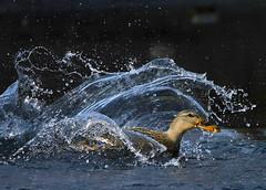 ~ SplashDown ~ (ViaMoi) Tags: canada reflection bird water speed photography photo duck wings action ottawa feathers freeze mallard splash waterfowl hen flap avian viamoi