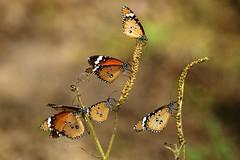 [フリー画像] [節足動物] [昆虫] [蝶/チョウ] [カバマダラ]       [フリー素材]