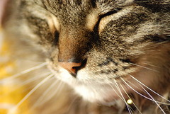 """Beautiful Bach""... (Jen's Photography) Tags: november pet macro face animal cat illinois nikon feline dof bokeh harvard kitty bach domestic mainecoon 2009 d80 jensphotography heritage2011"