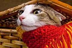 Piaf com cara de montanha russa (Heloisa Bortz Fotografia) Tags: pet cat gato gata felino piaf casaestdio