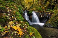 Emerald Fall (Michael Bollino) Tags: autumn fall nature leaves creek river landscape outside waterfall maple nikon northwest columbia falls gorge emerald columbiarivergorge d300 michaelbollino