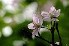 Sakura (ddsnet) Tags: plant flower sony hsinchu taiwan  cherryblossom sakura    900         cherry blossom eighteenpeaksmountain 900
