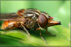 a useful use for a nose (Insect~O~Saurus) Tags: portrait macro nature canon bug insect scotland flash stack handheld hoverfly reversedlens focusstacked rhingiacampestris canoneos500d may2011 iainlawrie recordr:species=rhingiacampestris recordr:count=1 recordr:determiner=iainlawrie